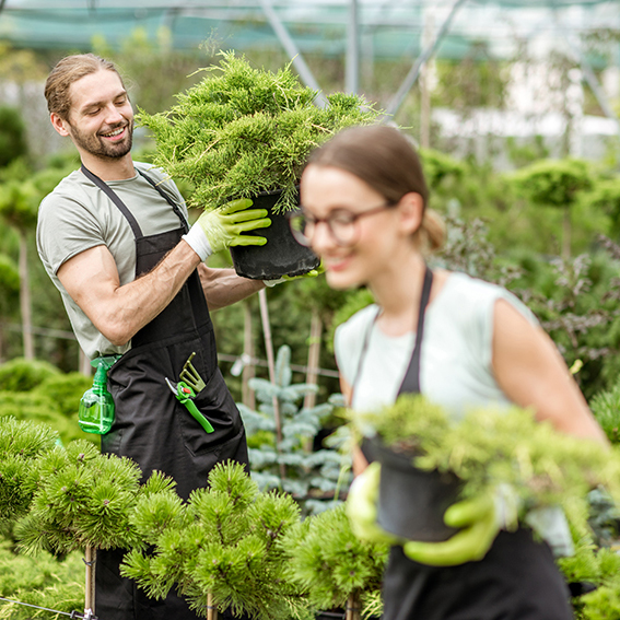 Young couple of workers in uniform working with green plants holding pots with conifer bush in the greenhouse