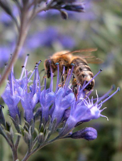 nissen_tipp_Bienenfreundliche_Pflanzen_Caryopteris_hoch
