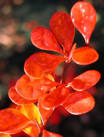 nissen_tipp_Gehoelze_auffallende-Herbstfärbung_Euonnymus_alatus_hoch